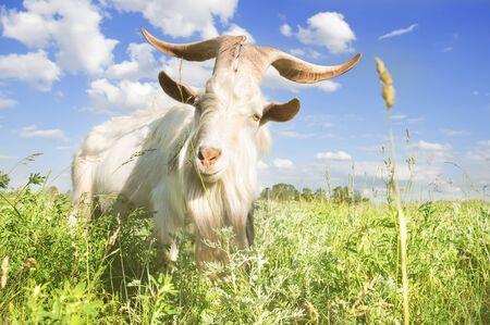Photo pour White goat with big horns grazing on a summer meadow close-up - image libre de droit