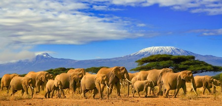 Photo pour African elephants on a safari trip to Kenya and a snow capped Kilimanjaro mountain in Tanzania in the background, under cloudy blue skies. - image libre de droit