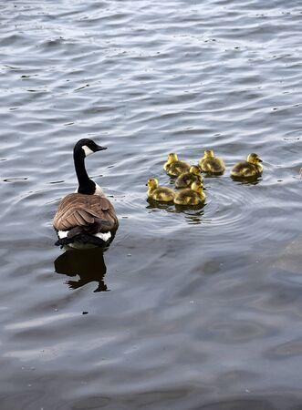 Foto de Happy Geese Family Swimming. - Imagen libre de derechos