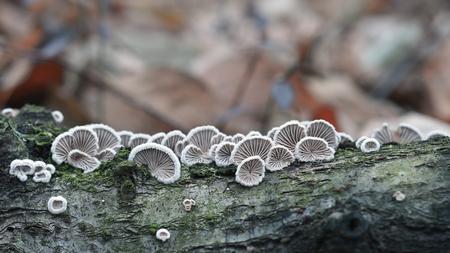 Schizophyllum commune fungus on wood, merulius communis