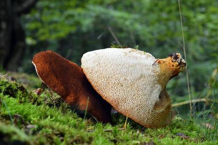 Rare Scutiger pes caprae mushroom