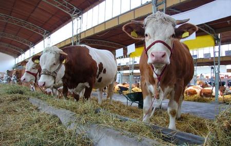 Cows and Bulls on Farm