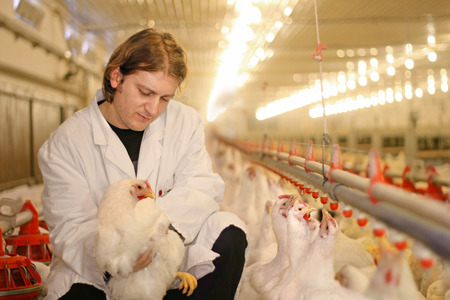 Vet working on the chicken farm