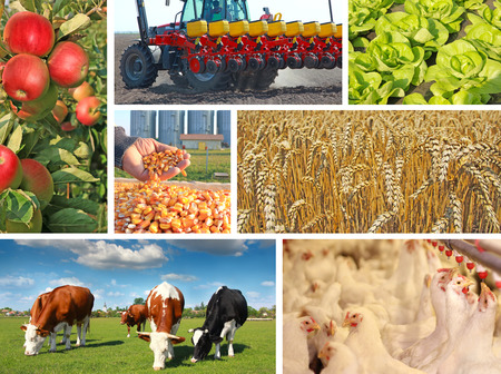 Agriculture - collage, food production - corn, wheat, tractor sowing, apple, cows on pasture, chicken farm, lettuce