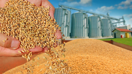 Photo pour Wheat grain in a hand after good harvest of successful farmer, in a background agricultural silo - image libre de droit