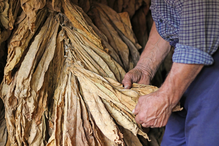Photo pour Senior farmer looking and controlling dry tobacco leaf in the dryer - image libre de droit