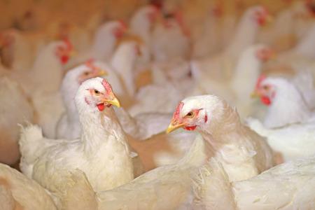 Photo pour Chicken farm, eggs and poultry production - image libre de droit