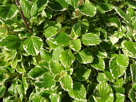 False incense leaves