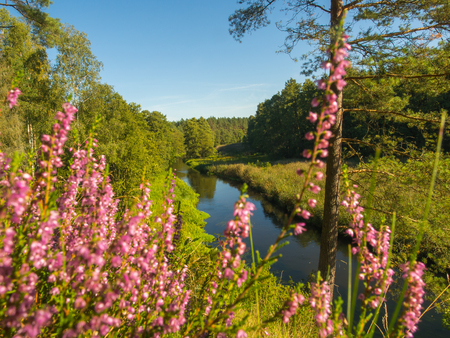 A View from a river bank thru purple heathers over the Wda river