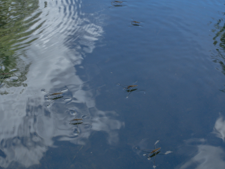 """Unusual insect called """"slip� walking on water"""