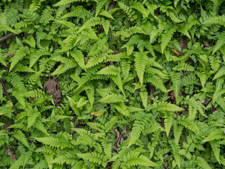 Background from the green fern leaves