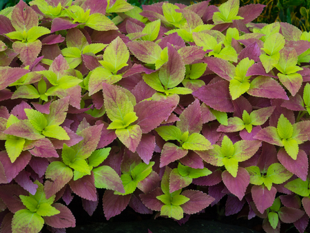 Green and pink  leaves of coleus
