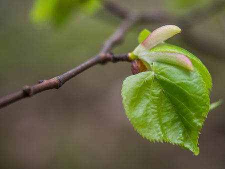 A beautiful young tilia cordata leaf bursting forth in spring. Small-leaved lime, occasionally littleleaf linden or small-leaved linden