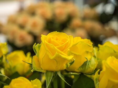 Blooming romantic fresh yellow rose. Flower rose Penny Lane on the green and ohers roses background