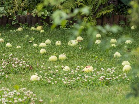 Apple pulp in  an autumn plot. Allocations in autumn in Poland.