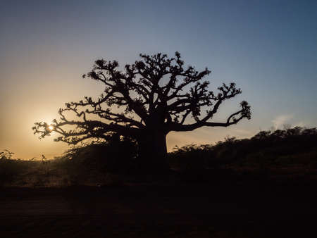 Photo pour Silhouette of baobab tree at sunset. Tree of happiness, Senegal. Africa - image libre de droit