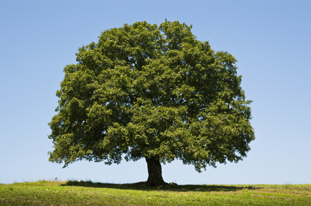 Photo for Oak Tree - Royalty Free Image