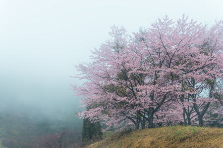 Cherry blossoms in the fog