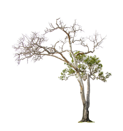Photo pour Isolate pictures of green tree. Large perennial on white background. tree dicut at isolated. Beautiful green trees in Thailand. Used for teaching biology of plants. - image libre de droit
