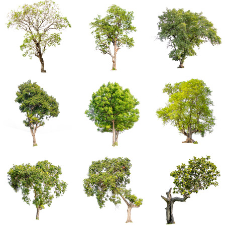 Photo for Collection of isolate pictures of green tree. Large perennial on white background. tree dicut at isolated. Beautiful green trees in Thailand Used for teaching biology of plants. - Royalty Free Image