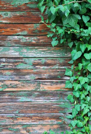 Photo pour wall with ivy growing on it for your design - image libre de droit