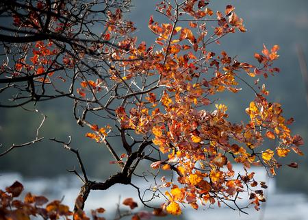 Biloba leaves in the autumn