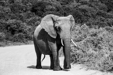 Photo pour Elephant and elephant. Kenya. Safari in Africa. African elephant. Animals of Africa. Travel to Kenya. Family of elephants. - image libre de droit