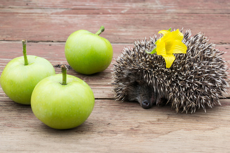 Sleeping small hedgehog with flower in thorns and green apples on the wooden tableの写真素材