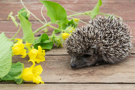 Curious little hedgehog looks at flowers tladianta on the table. Selective focusの写真素材