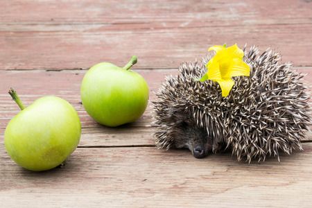 Little hedgehog with a flower on thorns sleeps about apples on a wooden tableの写真素材