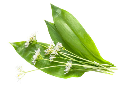 Medicinal plant ramson (allium ursinum) isolated on white background. Ramson - edible plant, nectariferous and is used in horticulture