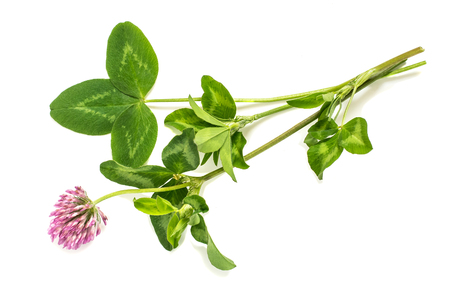 Medicinal plant Red clover (Trifolium pratense) on a white background. Used in herbal medicine, cooking, to animal feed, honey plant