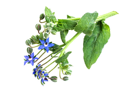 Medicinal plant borage (Borago officinalis), also known as a starflower isolated on a white background. Used in herbal medicine, healthy eating, oil from the seeds is done for cosmetic purposes