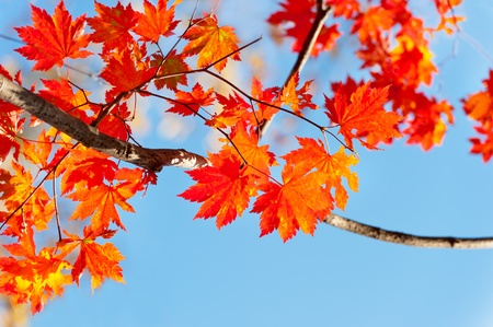 Photo pour red yellow fall maple leafs illuminated by sun natural background  - image libre de droit