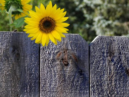 Fly and sunflower on a rustic fence.