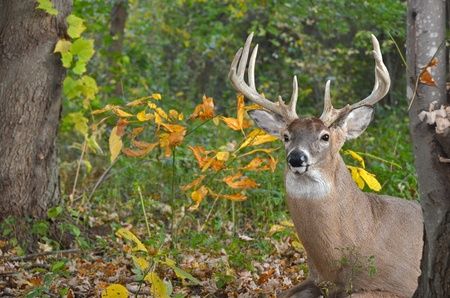 Big whitetail buck in autumn woods.