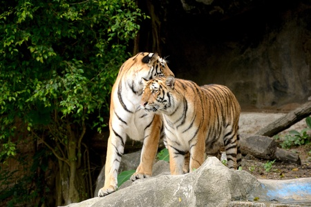 two tigers on a rock