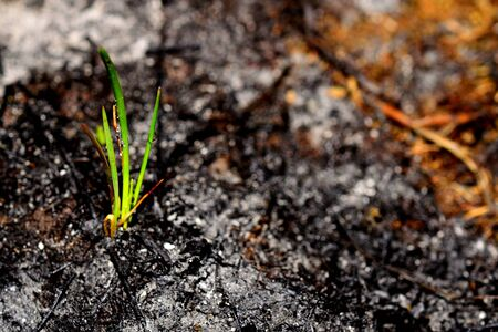 Photo pour Sprout rises over burnt ground. Grass ash after arson. Recovery after massive crysis. Future resurrection. Copy space on the right. - image libre de droit