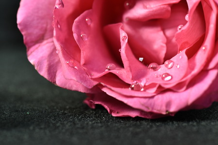 Beautiful pink rose flower with drops. Shallow focus