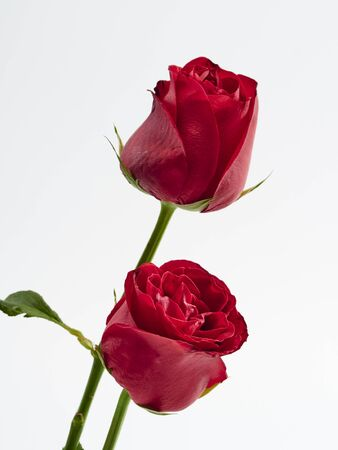 Photo for Valentine's Day background. Two red rose on white background. For card design and wedding. - Royalty Free Image