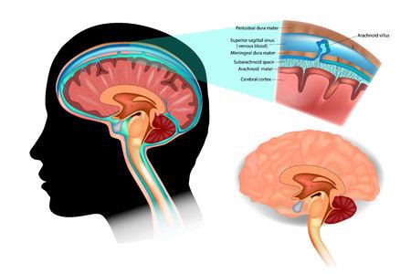 Illustration pour Diagram Illustrating Cerebrospinal Fluid (CSF) in the Brain Central Nervous System. Brain structure. - image libre de droit