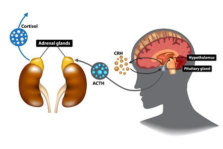 pituitary gland cartoon vector cartoondealercom