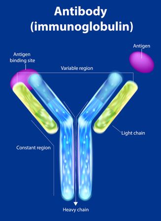 Ilustración de The structure of the antibody (immunoglobulin). Antibody binds to a specific antigen - Imagen libre de derechos