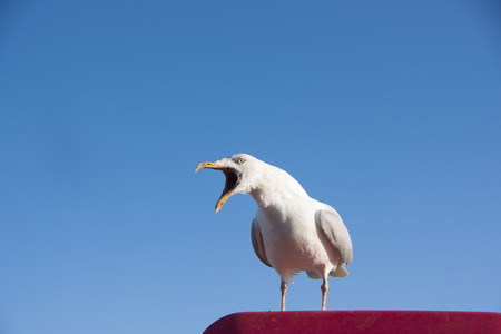 Photo for Seagull calling - Royalty Free Image