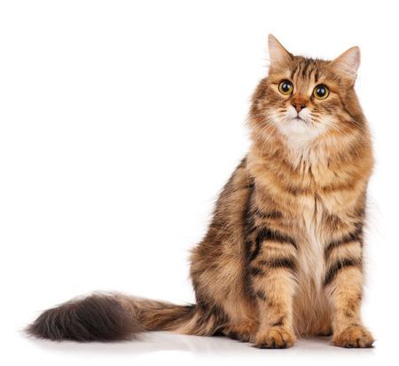 Photo pour Siberian beautiful adult cat over white background - image libre de droit