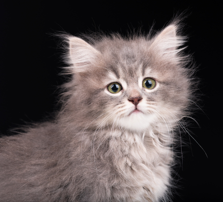 Cute fluffy grey kitten over black background