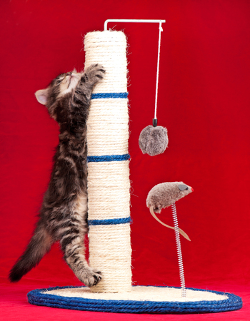 Photo pour Curious siberian kitten on the scratching post over red background - image libre de droit