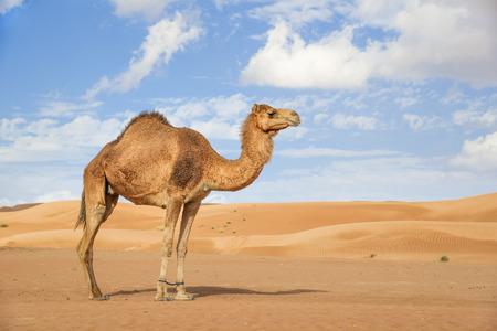 Photo pour Image of camel in desert Wahiba Oman - image libre de droit