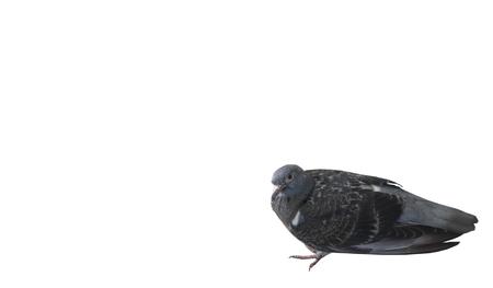 Sick pigeon on white background
