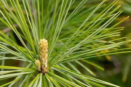 Emerging Growth on Pine Tree